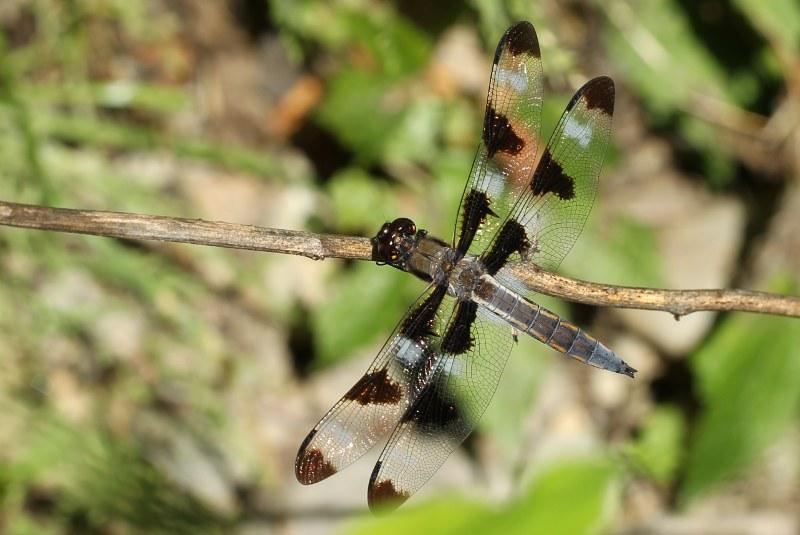 Male twelve-spotted skimmer dragonfly