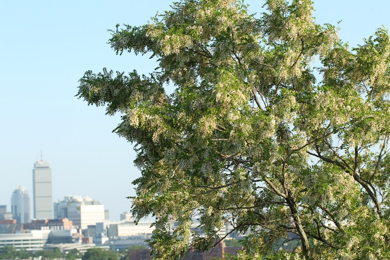Black Locust tree in flower in Prospect Hill Park with Boston's buildings in background