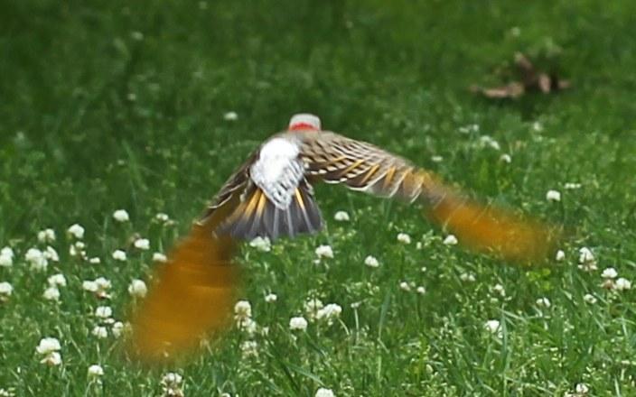 A northern flicker in flight