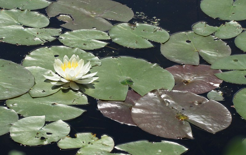 White water-lily with white flower and green pads