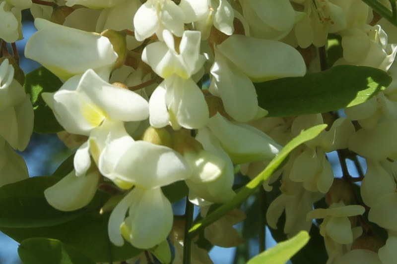 Black Locust flowers: white