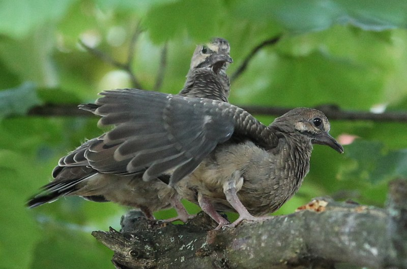 Fledgling mourning doves on a branch