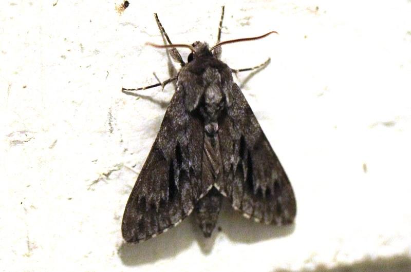Northern pine sphinx moth