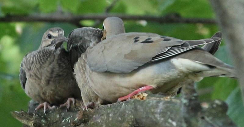 Mourning dove feeding its babies