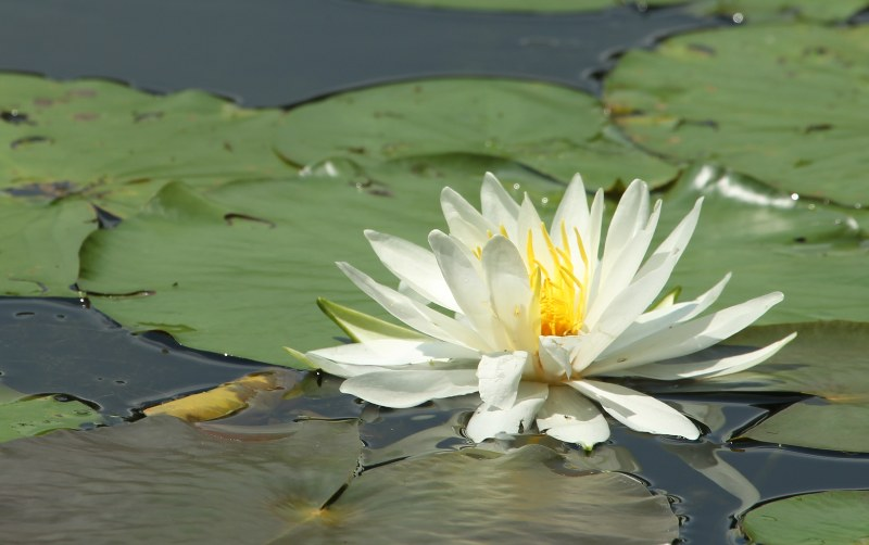 Water lily in flower