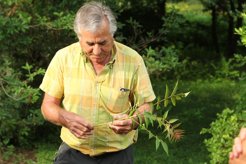 Peter Del Tredici with an Ailanthus sucker