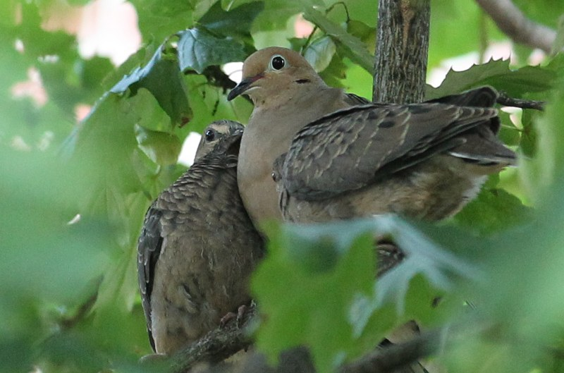 Parent and young mourning dove