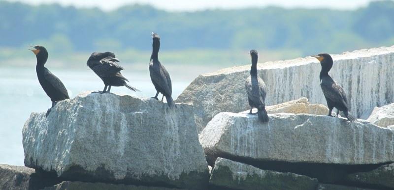 Double-crested cormorants sitting on rocks