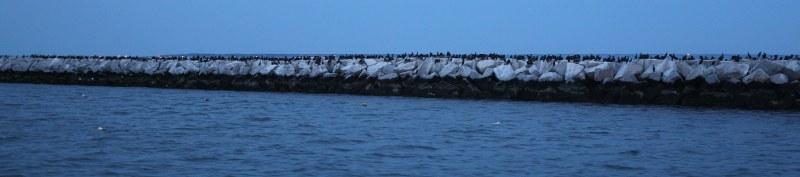 Cormorants on sea wall
