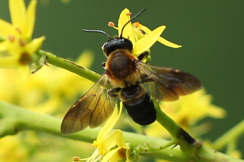 Carpenter bee?