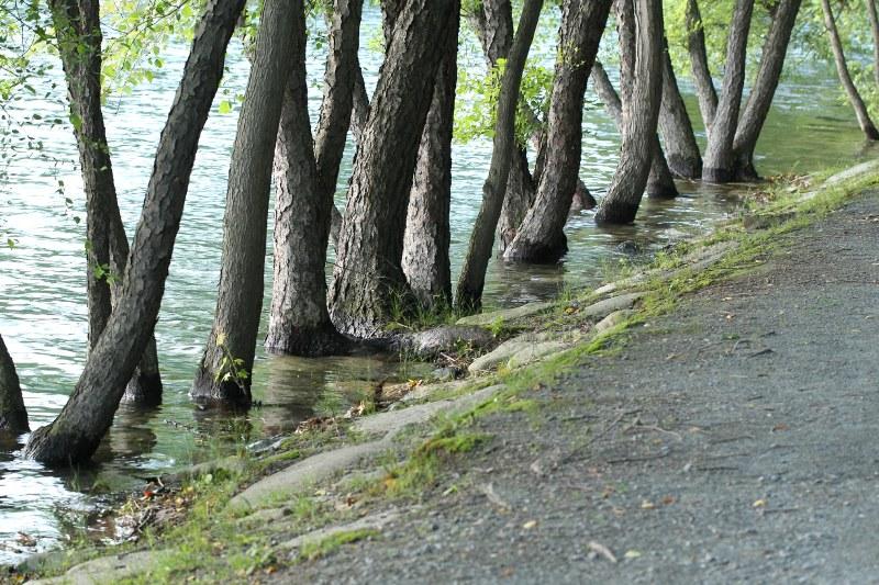 River birches underwater along Jamaica Pond