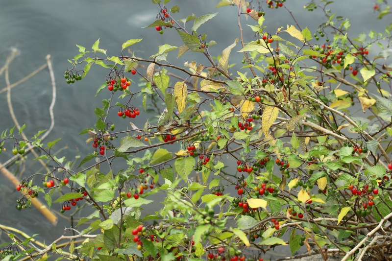 Red and green berries of bittersweet nightshade