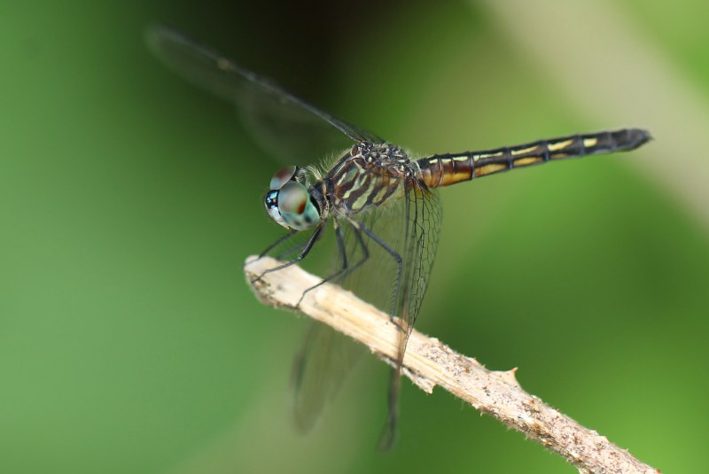 Female blue dasher at rest