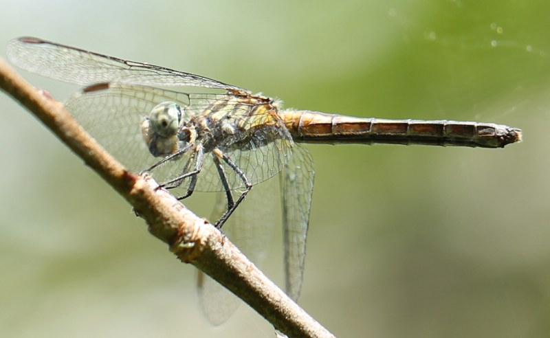 Blue dasher dragonfly perched