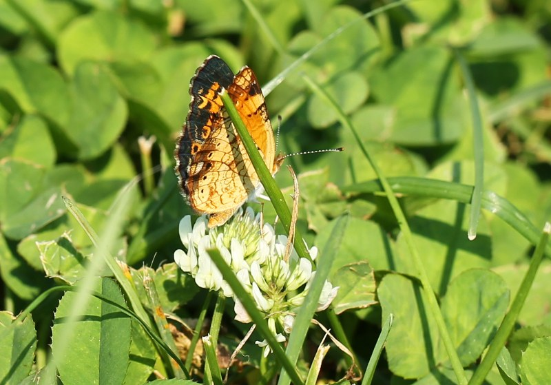 Pearl crescent on white clover