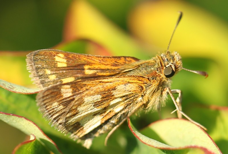 Long dash butterfly