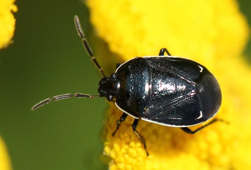 White-margined burrower bug