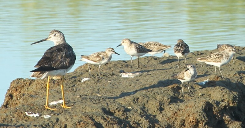 Lesser yellowlegs with semipalmated sandpipers