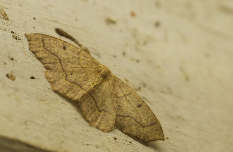 Hemlock looper moth