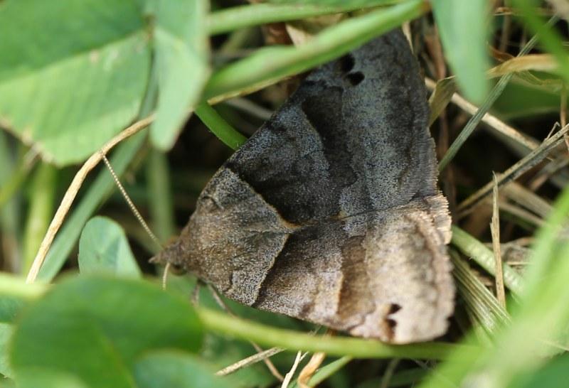 Clover looper moth