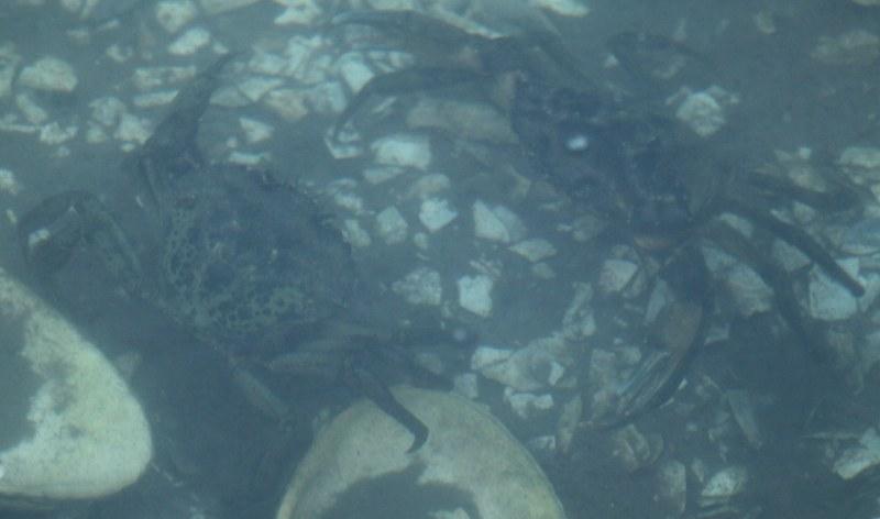 Green crabs in salt marsh