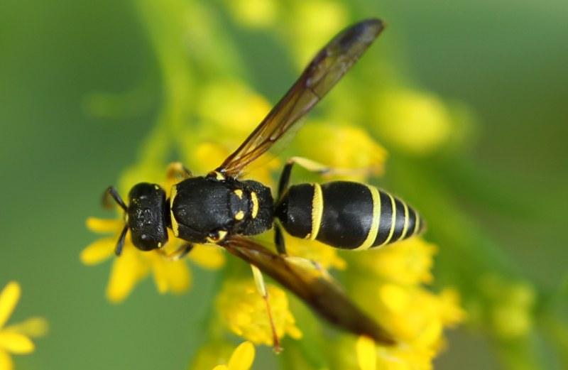 potter wasp on goldenrod