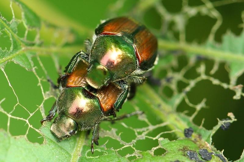 Mating Japanese beetles