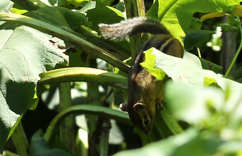 Eastern chipmunk running down cup plant