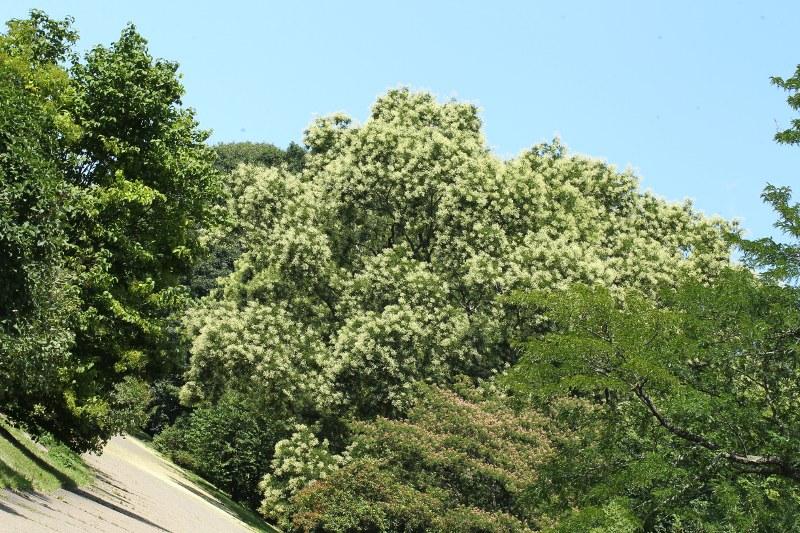 Scholar tree in full bloom