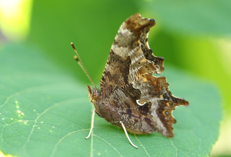 Eastern comma butterfly with wings closed