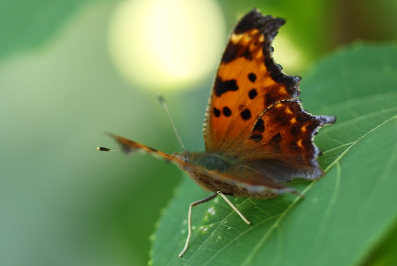 Eastern comma butterfly opening its wings