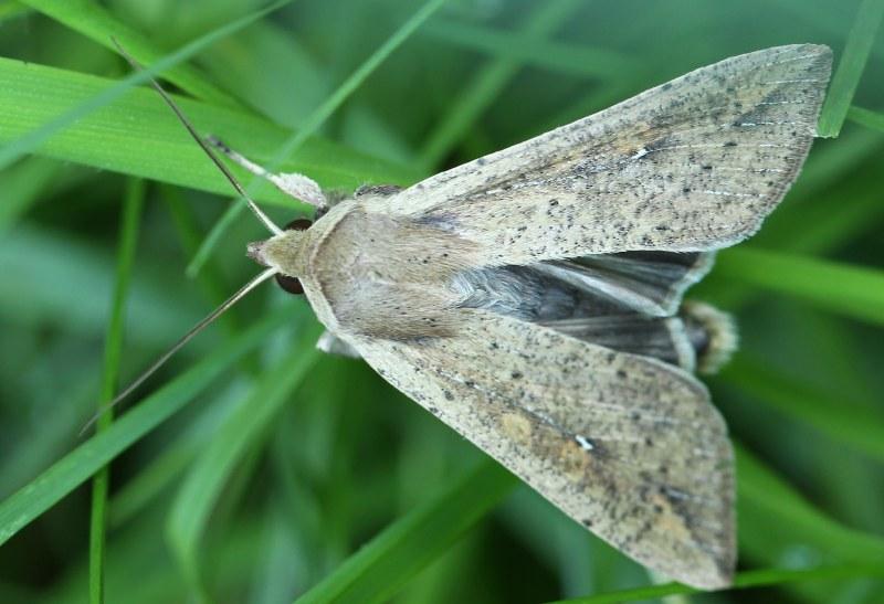 Armyworm moth
