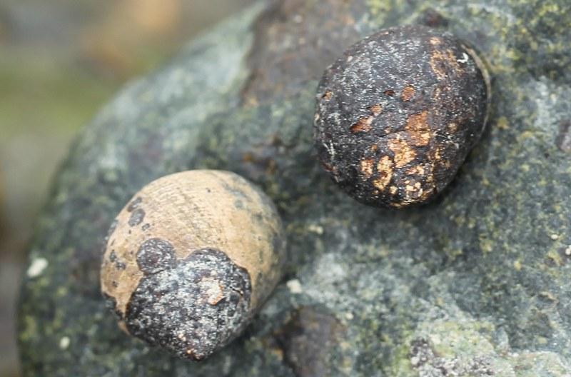 Common periwinkles