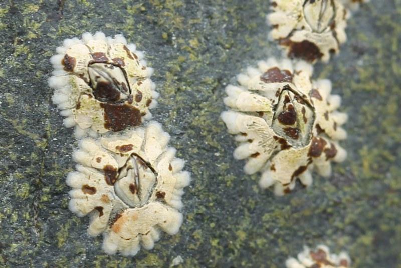 Northern rock barnacles