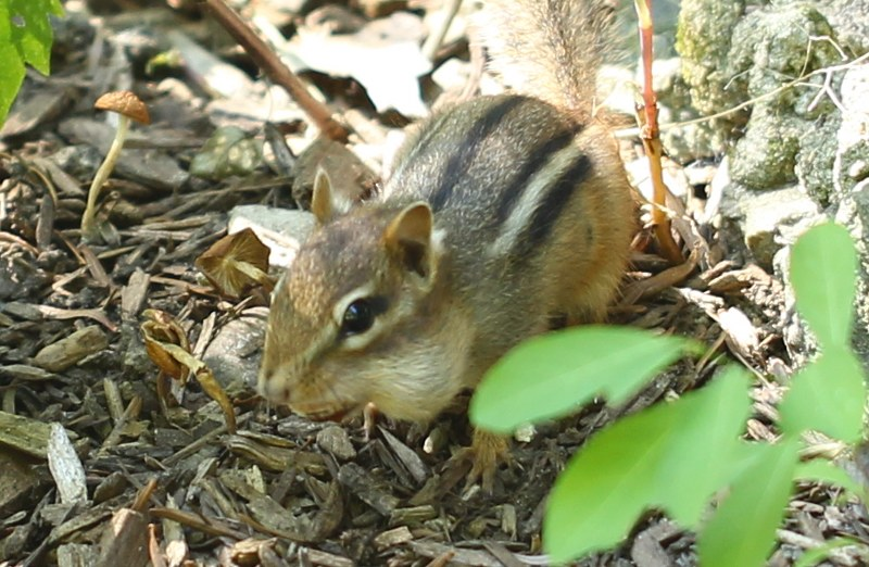 Eastern chipmunk with food in its cheeks