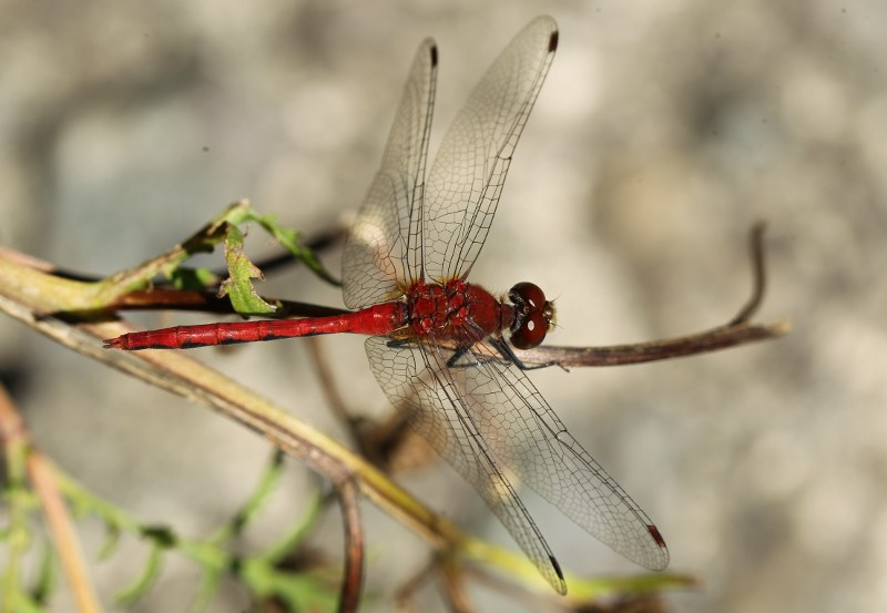 Male white-faced meadowhawk dragonfly