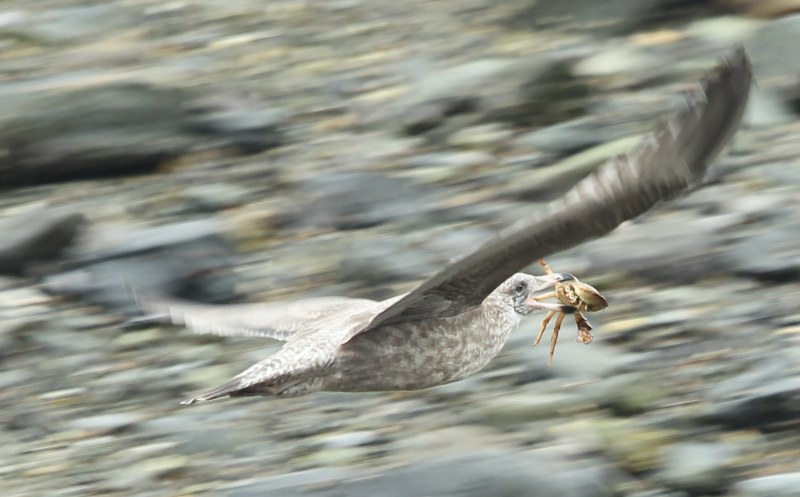 Gull flying with crab in its beak