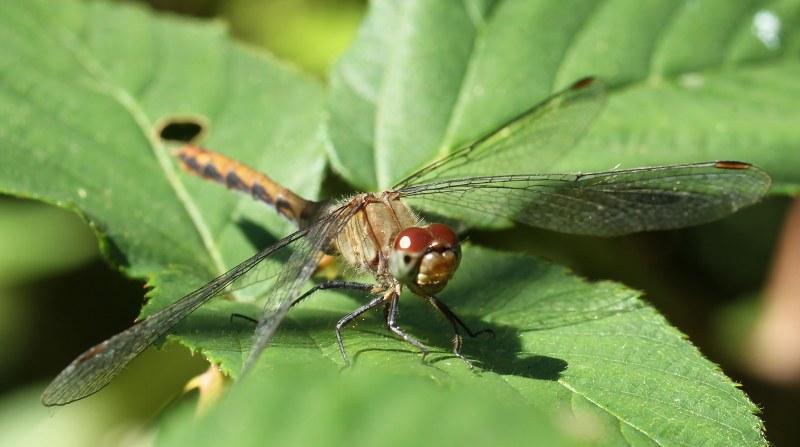 Female meadowhawk dragonfly