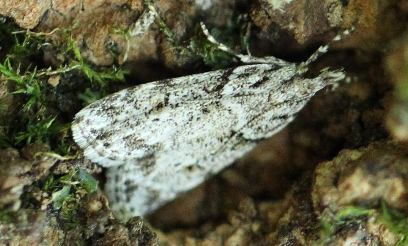 Moth on maple trunk