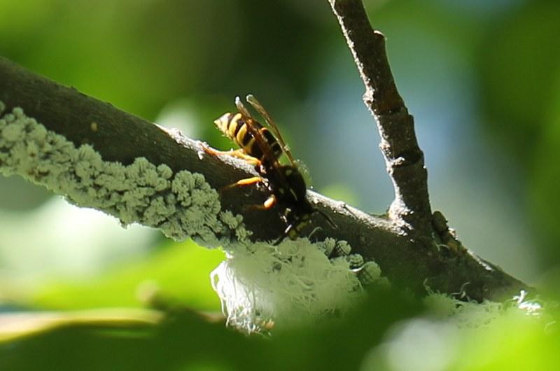 Wasp feeding on aphid honeydew