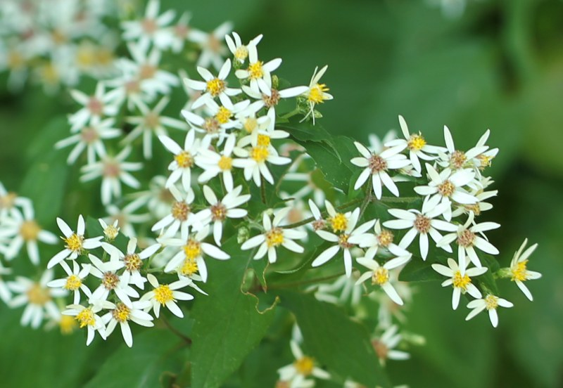 Flowers of white wood-aster