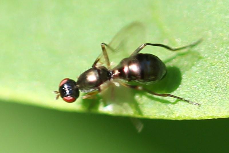 Black scavenger fly