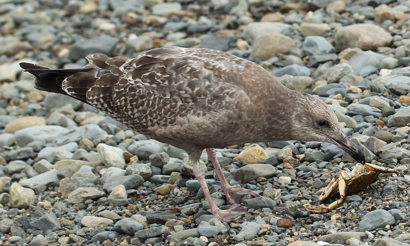 Juvenile herring gull eating crab