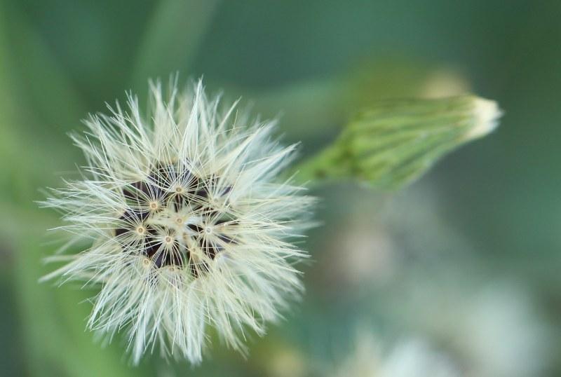 Panicled hawkweed seedhead