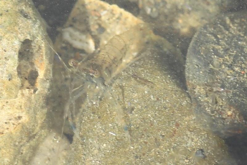Transparent shrimp