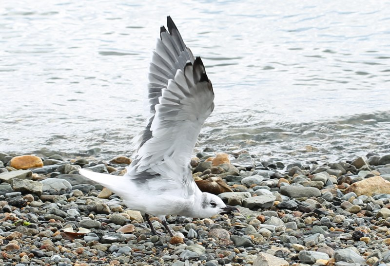 Laughing gull with wings outstretched