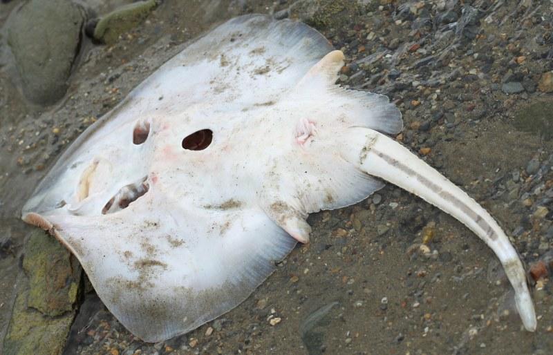 Dead skate washed up on shore