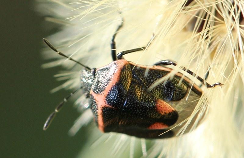 Twice-stabbed stink bug