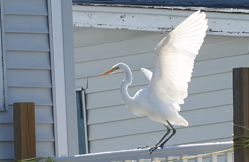 Great egret with wings held high