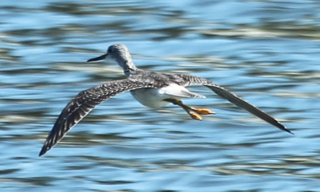Greater yellowlegs in flight